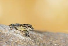 Espèces de Pnemaspis ou gecko de jour photo stock