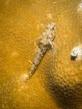 Espèces de pygmée Goby - d'Eviota. Images libres de droits