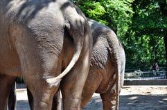 Espèces des éléphants derrière Photo libre de droits