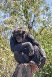 Espèces des animaux sauvages en captivité, singes Photo stock