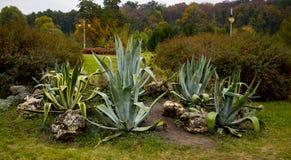 Espèces des cactus s'élevant en Crimée, parc Feofania de paysage Photo libre de droits