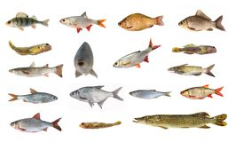 Espèces des poissons de rivière Image stock