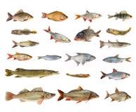 Espèces des poissons de rivière Image libre de droits