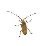 Espèces des scarabées de scarabées de longhorn Photo libre de droits