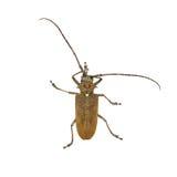 Espèces des scarabées de scarabées de longhorn Image stock