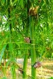 Espèces en bambou pour la consommation, greffe en bambou, greffe en bambou rencontrée Photographie stock