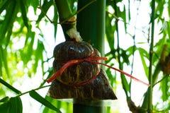 Espèces en bambou pour la consommation, greffe en bambou, greffe en bambou rencontrée Photos libres de droits