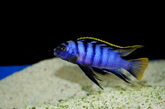 Espèces Mbamba de Labidochromis Photos stock