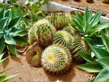 Espèces populaires de cactus de cactus-Barrarel Images libres de droits
