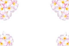 Espèces roses et jaunes de Plumeria Photographie stock libre de droits