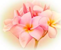 Espèces roses et jaunes de Plumeria Photo libre de droits
