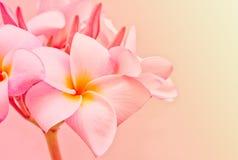 Espèces roses et jaunes de Plumeria Photos libres de droits