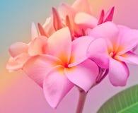 Espèces roses et jaunes de Plumeria Images libres de droits