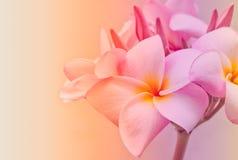 Espèces roses et jaunes de Plumeria Image stock