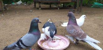 Espèces sri-lankaises de pigeon photo libre de droits