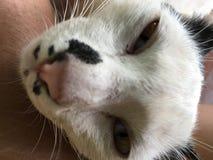 Espèces thaïlandaises de chat images libres de droits