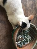 Espèces thaïlandaises de chat photos libres de droits