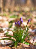 Bifolia de Scilla Photo libre de droits