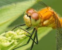 Espécie da libélula do meadowhawk - close up extremo da cara e dos olhos - tomada em Theodore Wirth Park em Minneapolis fotos de stock royalty free