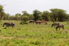 Espécie da zebra de equids africanos no parque nacional de Tarangire, Tanzânia Imagens de Stock