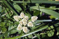 Espécie de graminea na flor Imagem de Stock