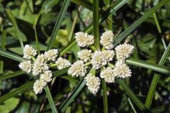 Espécie de graminea na flor Imagens de Stock Royalty Free
