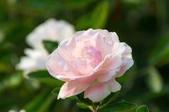 Espécie de Rosa Fotografia de Stock Royalty Free