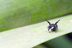 Espécie de salto do aracnídeo da aranha de família de Salticidae Fotografia de Stock