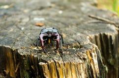 Espécie em vias de extinção de besouros equipados com pernas Fotografia de Stock Royalty Free