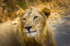 A espécie em vias de extinção de leão asiático Imagens de Stock Royalty Free