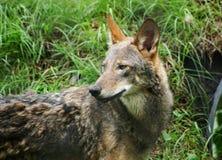 espécie em vias de extinção do lobo vermelho imagem de stock