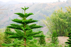 Espécie Phetchabun Tailândia da palmeira Fotos de Stock Royalty Free