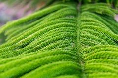 Espécie Phetchabun Tailândia da palmeira Imagens de Stock