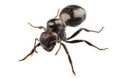 Espécie preta Lasius niger da formiga do jardim Imagem de Stock