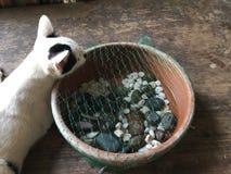 Espécie tailandesa do gato imagem de stock royalty free