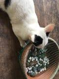 Espécie tailandesa do gato fotos de stock royalty free
