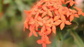 A espécie vermelha bonita de Ixora floresce no fundo das folhas video estoque