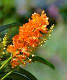 Orquídea Tailândia Fotos de Stock