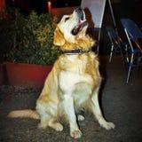 espécime bonito do cão doméstico que espera a chegada da bola jogada pelo proprietário fotografia de stock