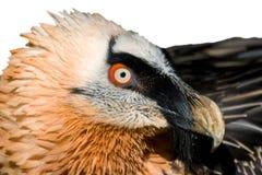 Espécime de Lammergeier (barbatus do Gypaetus) Foto de Stock