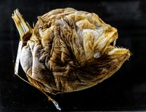 Espécime de um peixe do alto mar de Bufoceratias Wedli no exh zoológico fotos de stock