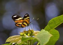 Espécime do dianasa de Eueides Isabella da borboleta na flor imagens de stock royalty free