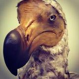 Espécime extinto do dodó do pássaro flightless foto de stock