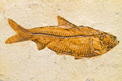 Espécime fóssil dos peixes do Knightia fotografia de stock royalty free