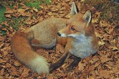 Espécimen de Fox mientras que descansa la mentira en el medio de las hojas imágenes de archivo libres de regalías