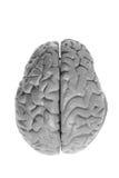 Espécimen del cerebro Fotos de archivo