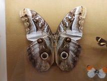 Espécimen fijado grande de la polilla con las alas con los ojos imagen de archivo