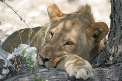 Espírito africano (Etosha NP, Namíbia) Fotografia de Stock