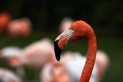 Espírito do flamingo imagens de stock