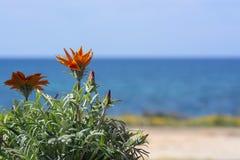 Espaço azul do horizonte de mar da flor alaranjada brilhante do áster fotos de stock